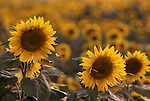 Europe, ITA, Italy, Tuscany, bei Siena, Sunflowers, Blossom, Helianthus annuus....[ For each utilisation of my images my General Terms and Conditions are mandatory. Usage only against use message and proof. Download of my General Terms and Conditions under http://www.image-box.com or ask for sending. A clearance before usage is necessary...Material is subject to royalties. Each utilisation of my images is subject to a fee in accordance to the present valid MFM-List...Contact | archive@image-box.com | www.image-box.com ]