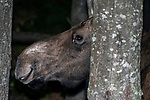 Cow moose close-up of face and mouth facing left behind tree in forest.