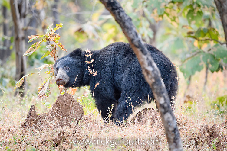 Adult male (boar) sloth bear (Melursus ursinus) digging at a termite mound. Panna Tiger Reserve, Madhya Pradesh, Central India
