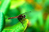 1O05-031a  Meadowhawk Skimmer Dragonfly - Sympetrum spp..