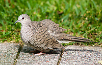 Inca Dove, Columbina inca, in the gardens of the Hotel Bougainvillea, Santo Domingo de Heredia, Costa Rica