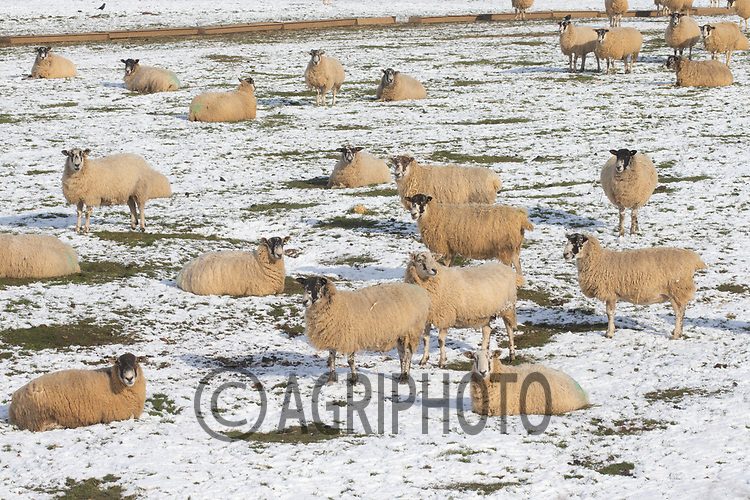 11-2-2021 Ewes in snow covered fields in Rutland.<br /> ©Tim Scrivener Photographer 07850 303986<br />      ....Covering Agriculture In The UK....