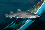 Sand tiger shark swimming right near shipwreck