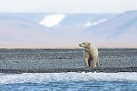 A polar bear on the beach near the hamlet of Doubtful, Wrangel Island