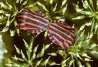 Streifenwanze, Paarung, Kopulation, Kopula, Streifen-Wanze, Graphosoma lineatum, Italian Striped-Bug, Striped-Bug, Minstrel Bug, pairing, Baumwanzen, Pentatomidae, stink bugs