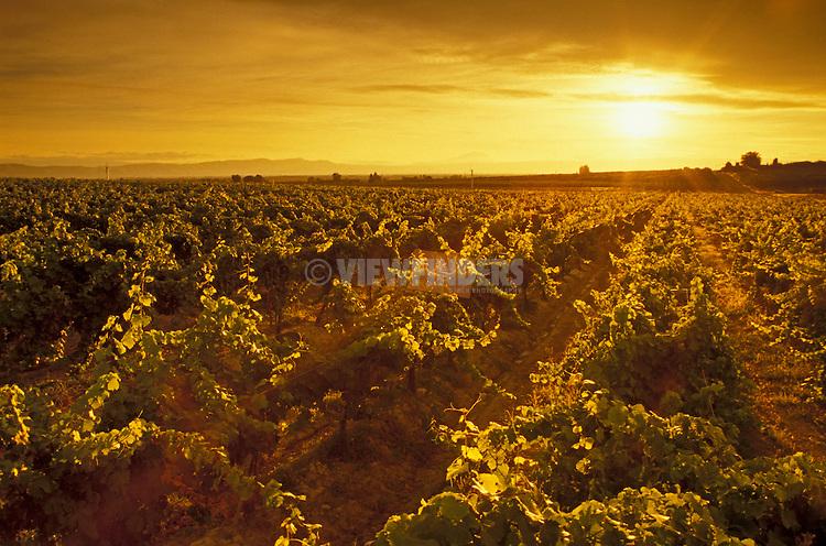 Rows of wine grapes at sunset, Hyatt Vineyards, Yakima Valley, Zillah, Washington.  .#2440-1319
