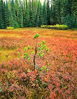 Lodgepole pine and Huckleberry in fall color. Deschutes National Forest. Near McKenzie Pass, Oregon.