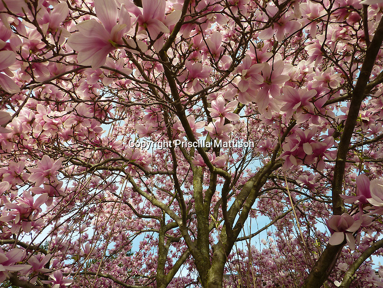Upper branches of a pink magnolia tree