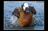 White-faced Tree Duck (Dendrocygna viduata) - Wildfowl and Wetlands Trust- 5th February 2006
