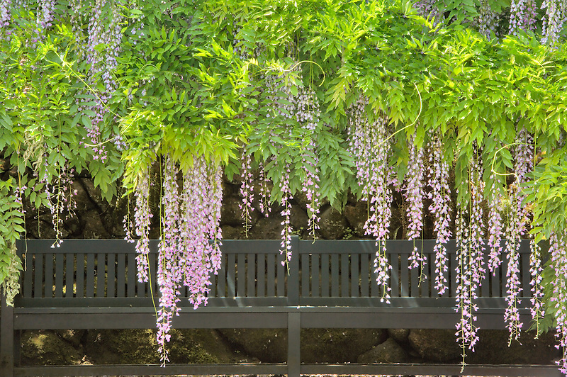Wysteria and bench. Bishops Close Gardens. Oregon