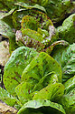 """Romaine lettuce 'Forellenschluss', mid August. An old Austrian heirloom, whose name means """"speckled like a trout""""."""
