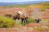 moose, Alces alces, family in Denali National Park, interior, Alaska, USA, USA