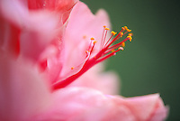 close up of a pink hibiscus flower: Hibiscus rosa-sinensis