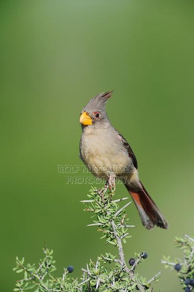 Pyrrhuloxia (Cardinalis sinuatus), female perched, Laredo, Webb County, South Texas, USA