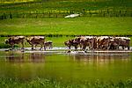 Oesterreich, Tirol, Pillerseetal, St. Ulrich am Pillersee: Kunherde nimmt ein Fussbad im Pillersee | Austria, Tyrol, Pillersee Valley, St. Ulrich at Lake Pillersee: cow herd having a bath