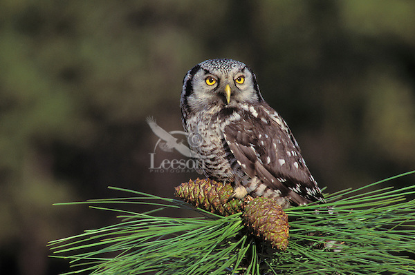 Northern Hawk-Owl. North America. (Surnia ulula).
