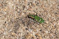 Korsischer Feld-Sandlaufkäfer, Feldsandlaufkäfer, Sandlaufkäfer, Korsischer Feldsandläufer, Cicindela campestris corsicana, Cicindela campestris, Corsican green tiger beetle, Korsika, Corsica