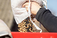9.3.2021 Spring bean seed.  <br /> ©Tim Scrivener Photographer 07850 303986<br />      ....Covering Agriculture In The UK....