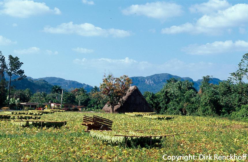 Cuba, Trocknen von Tabak im Valle de Vinales, Provinz Pinar del Rio, Unesco-Weltkulturerbe