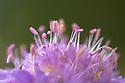 Detail of Field Scabious {Knautia arvensis} Nordtirol, Austrian Alps. June.