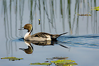 Northern Pintail (Anas acuta) drake.  Klamath Marsh National Wildlife Refuge, Oregon.  May.