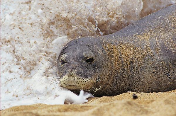 Hawaiian Monk Seal, Monachus schauinslandi, adult resting at beach, Kauai, Hawaii, USA
