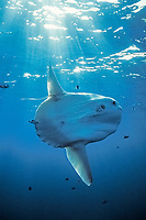 ocean sunfish, Mola mola, note parasite at base of dorsal fin, San Diego, California, USA, East Pacific Ocean