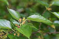 Schwarzer Maulbeerbaum, unreife Früchte, Schwarze Maulbeere, Maulbeeren, Morus nigra, Black Mulberry, Common Mulberry