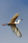 Egret gliding overhead, Upper Newport Bay, CA.