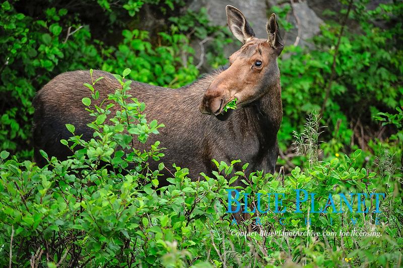 Moose (Alces alces), Newfoundland, Canada, North America