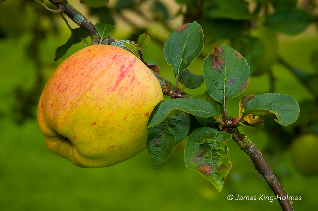 Apples variety Wormsley Pippin