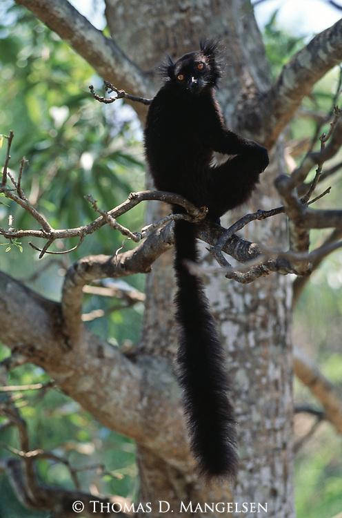 A male black lemur sits in a tree in Madagascar.