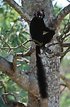 A male black lemur sits in a tree in Madagascar.