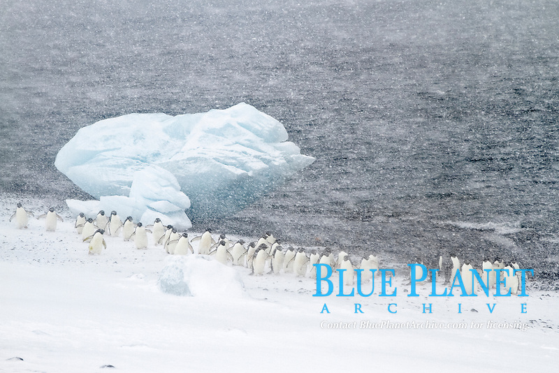 Adelie penguin, Pygoscelis adeliae, marching in snowstorm with grounded iceberg in background, at Brown Bluff on the Antarctic Peninsula in the Weddell Sea, Antarctica, Southern Ocean