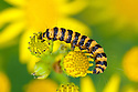 Cinnabar Moth caterpillar (Tyria jacobaeae) feeding on Common Ragwort (Jacobaea vulgaris). Peak DIstrict National Park, Derbyshire, UK. July