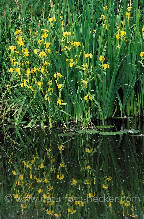 Sumpf-Schwertlilie, Sumpfschwertlilie, Schwertlilie, Gelbe Iris, an der Uferzone, Röhrichtzone eines Gewässers, Iris pseudacorus, Flag Iris, Yellow Flag