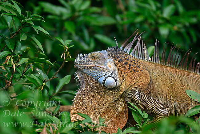 A large Iguana in the Cano Negro region of Costa Rica.