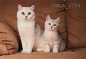 Carl, ANIMALS, photos, white cat, kitten(SWLA1758,#A#) Katzen, gatos
