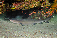 White-tipped reef shark (scientific name: Triaenodon obesus), Galapagos archipelago, Ecuador, east Pacific Ocean