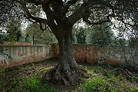 """Italy. Apulia Region. Contrada Galante is a village, distant 15 km from the town of Ceglie Messapica, located in Apulia (Puglia) in Southern Italy. Small farmhouse. Graffiti and century old olive tree. The olive, known by the botanical name Olea europaea, meaning """"European olive"""", is a species of small tree in the family Oleaceae, found in the Mediterranean Basin. The olive's fruit, also called the olive, is of major agricultural importance in the Mediterranean region as the source of olive oil. The tree and its fruit give their name to the plant family. 6.12.18  © 2018 Didier Ruef"""