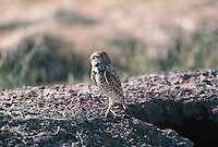 A Burrowing Owl stands above its nest,a hole in the ground. Seen in southern California's farm land.