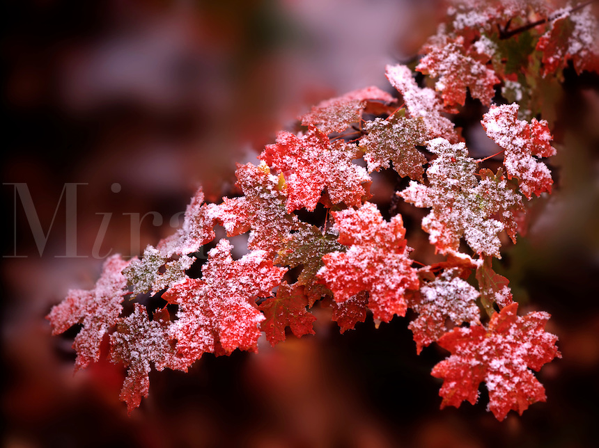 At autumn frost adorns a colorful grouping of oak leaves