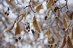 Seed pods of an American Linden, also known as  American Basswood  tree (Tilia Americana)  covered in fluffy snow crystals.