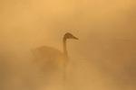 Trumpeter Swan in Fog