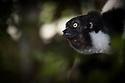 Indri {Indri indri} portrait, tropical rainforest, Andasibe-Mantadia National Park, Madagascar. IUCN Endangered Species.