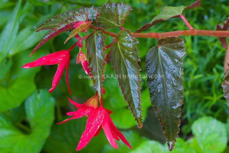 Begonia boliviensis Chocolate Red with dark leaves