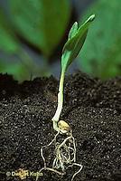 CR01-001z  Corn - seedling soil profile showing leaves, stem, roots