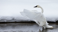 A swan flaps as part of its preening routine.