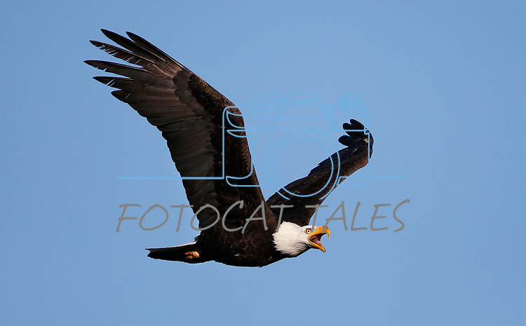 Bald eagles near Markleeville, Ca., on Monday, July 13, 2020. <br /> Photo by Cathleen Allison/Nevada Momentum
