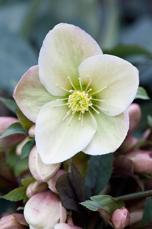 Hellebore (Helleborus 'Winter Sunshine'), early February.